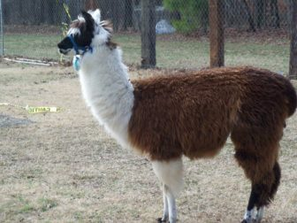 Tennessee_Valley_Zoo_Alpaca