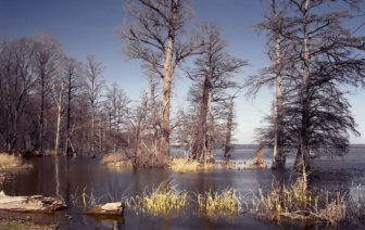 Reelfoot Lake is a shallow natural lake located in the northwest portion of U.S. state of Tennessee, in Lake and Obion counties. Much of it is really more of a swamp, with bayou-like ditches (some natural, some man-made) connecting more open bodies of water called basins, the largest of which is called Blue Basin. Reelfoot Lake is noted for its bald cypress trees and its nesting pairs of bald eagles.
