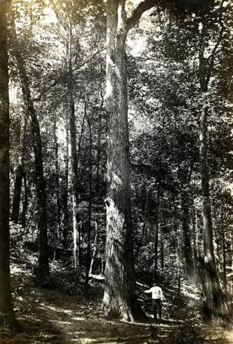 The Forests of Ingram-Day Lumber Company